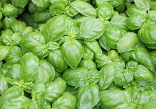 Bunch of Basil Sprigs